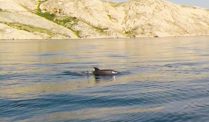 Dolphins near the island of Krk in May, 2014 - Photo by YachtRent crew :)